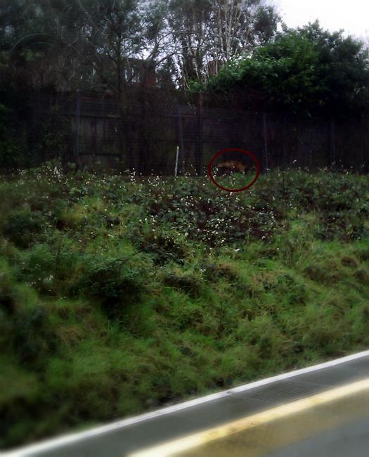 A fox spotted walking near train tracks