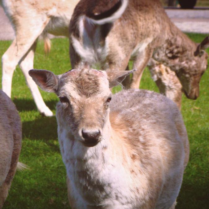 リッチモンド・パークの鹿