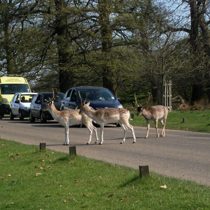 道路を渡るリッチモンド・パークの鹿