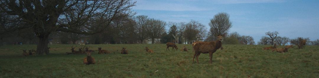 リッチモンド・パークで撮影したアカシカの群れ。