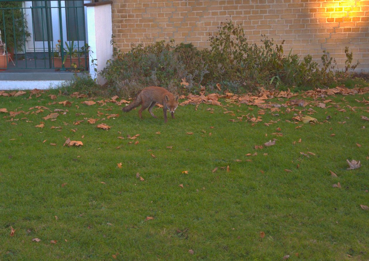 2016年11月30日、ロンドンの家の近くで出会したキツネ