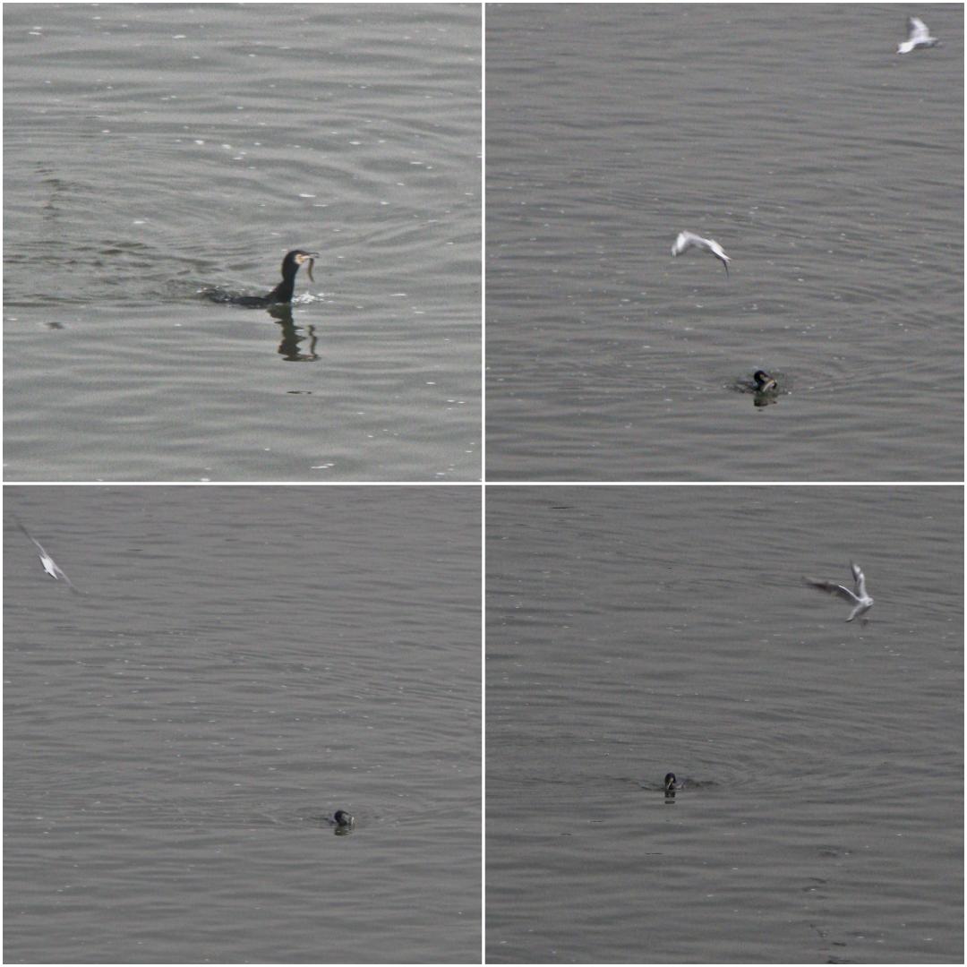 ロンドンのテムズ河でウナギを捕食するカワウ(2018年3月24日)
