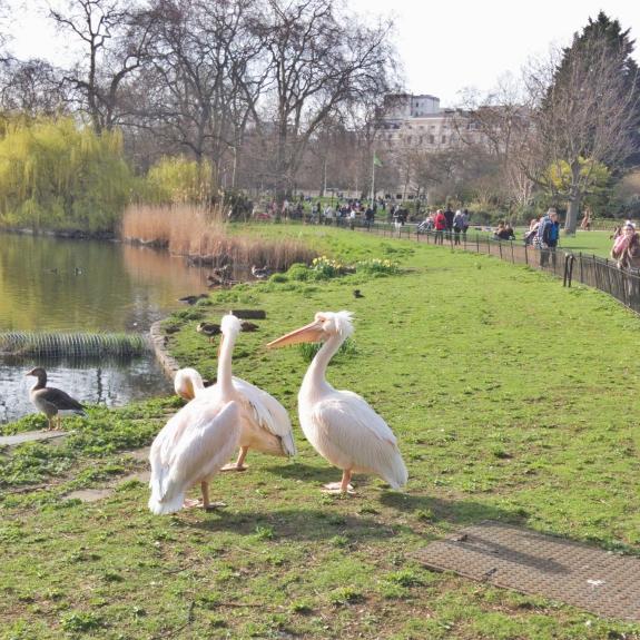 ロンドンのセント・ジェームズ・パークで撮影したペリカン3羽