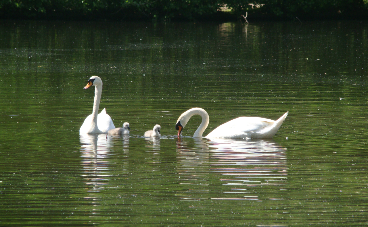 A pen, a cob, and two cygnets in Queensmere, Wimbledon Common, London