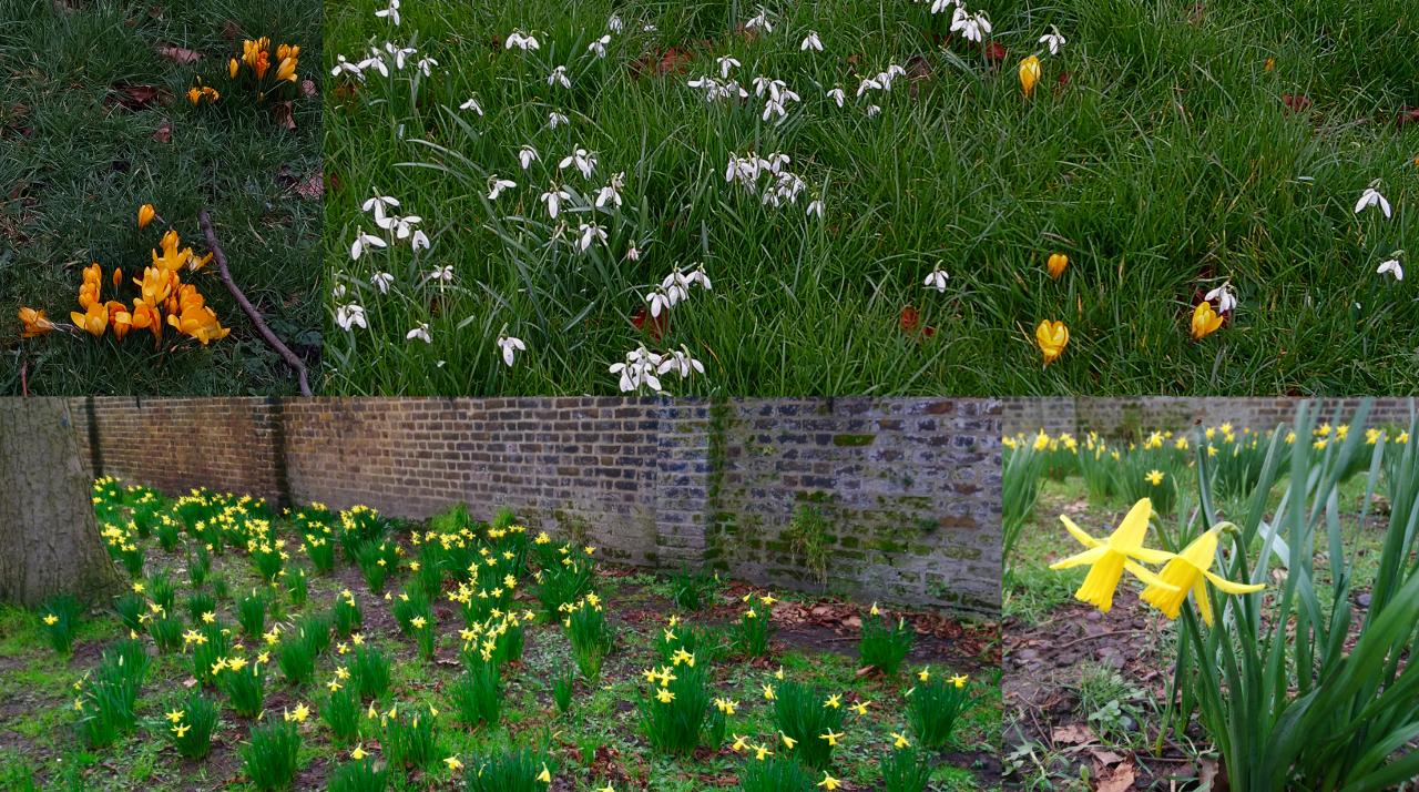 春の気配:ロンドンの公園に咲いていたスノードロップ・クロッカス・水仙【2020年2月14日撮影】