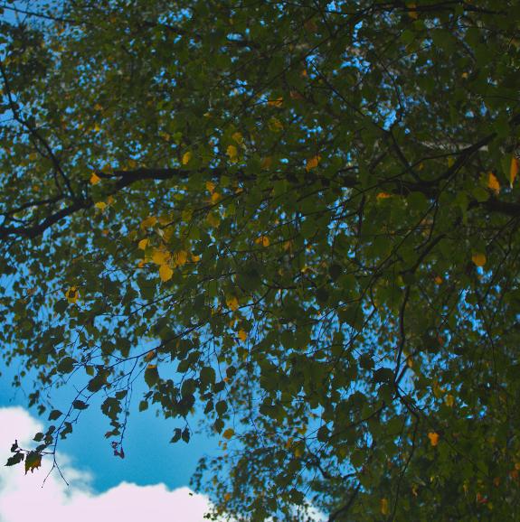ロンドンのウィンブルドン・コモンで撮影した白樺