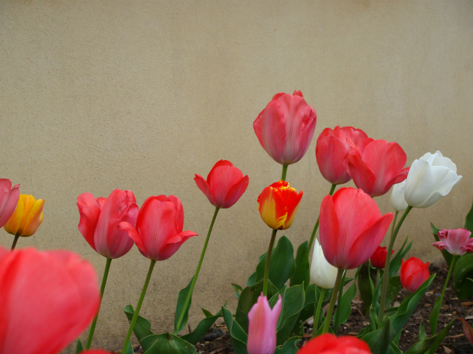 Tulips, walled garden, Fulham Palace, London (31 March 2014): original