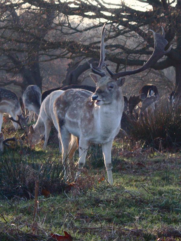 リッチモンド・パークに生息する鹿の写真(2020年)