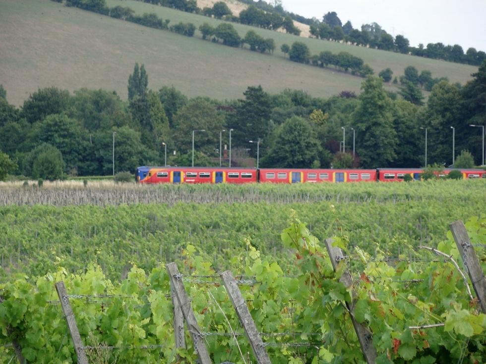 Dorking: vineyards (10 August 2013)