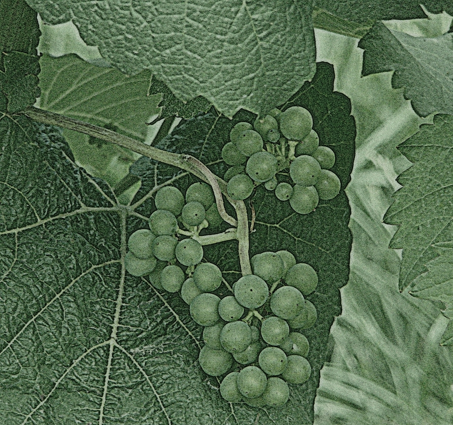 Dorking: vineyards (10 August 2013)