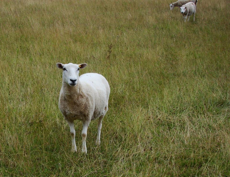 羊(2013年8月10日)