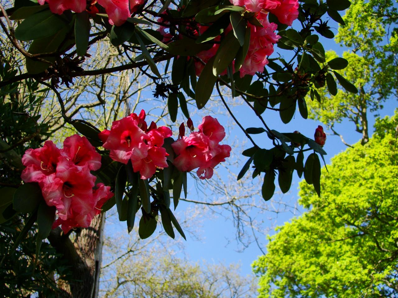 Isabella Plantation, Richmond Park (13 April 2014—12)