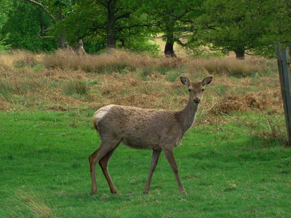 Deer in Richmond Park (13 May 2013—2)
