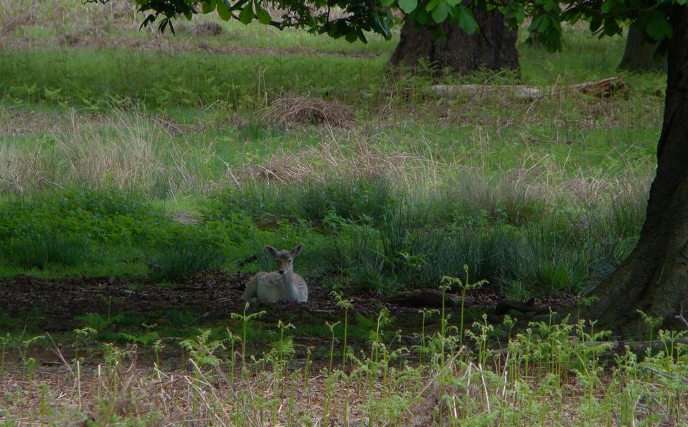 Deer in Richmond Park (16 May 2013—3)