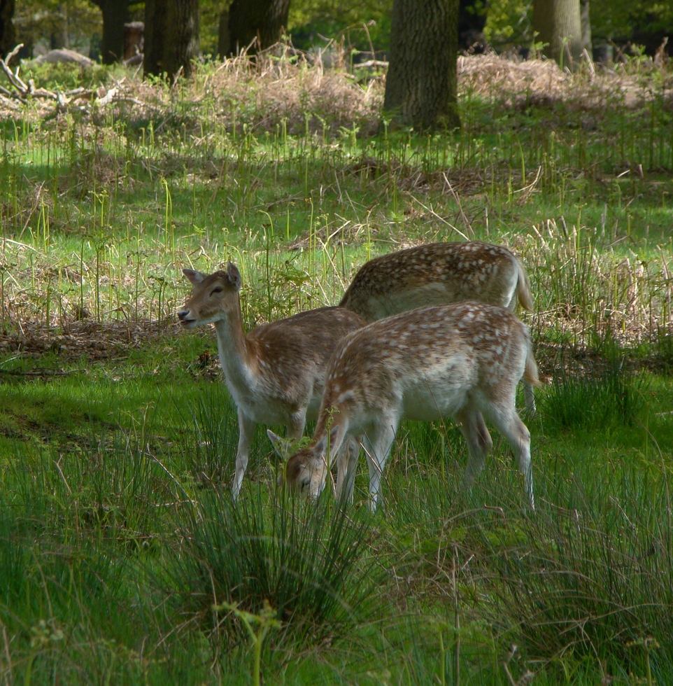 Deer in Richmond Park (16 May 2013—5)