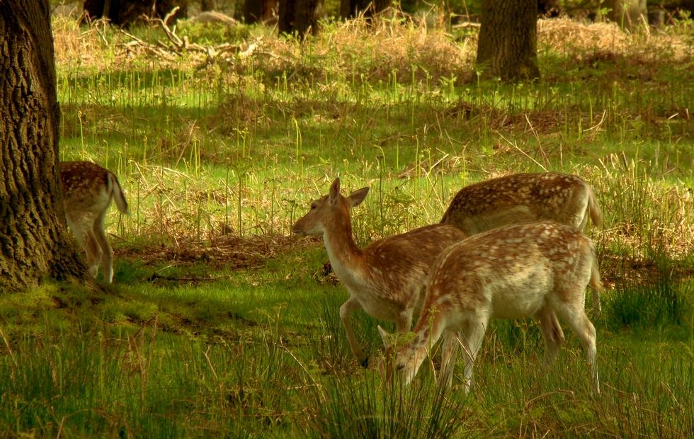 Deer in Richmond Park (16 May 2013—6—Variation: 1)