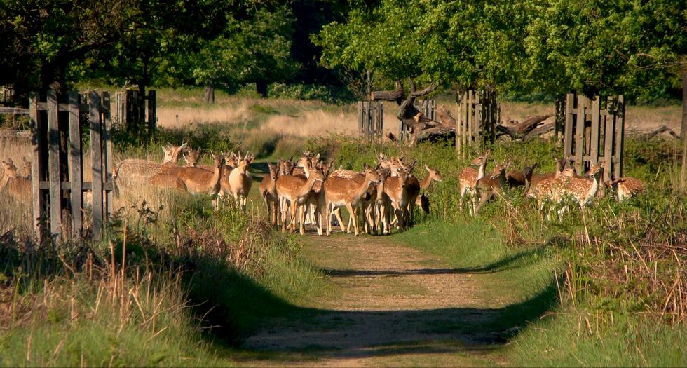 Deer in Richmond Park (27 May 2013—1—Variation: 1)