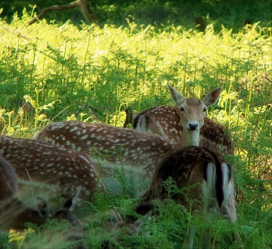 Deer in Richmond Park (27 May 2013—5—Variation: 1)