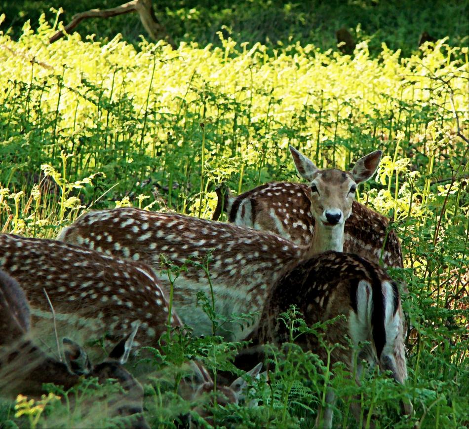 Deer in Richmond Park (27 May 2013—5—Variation: 2)