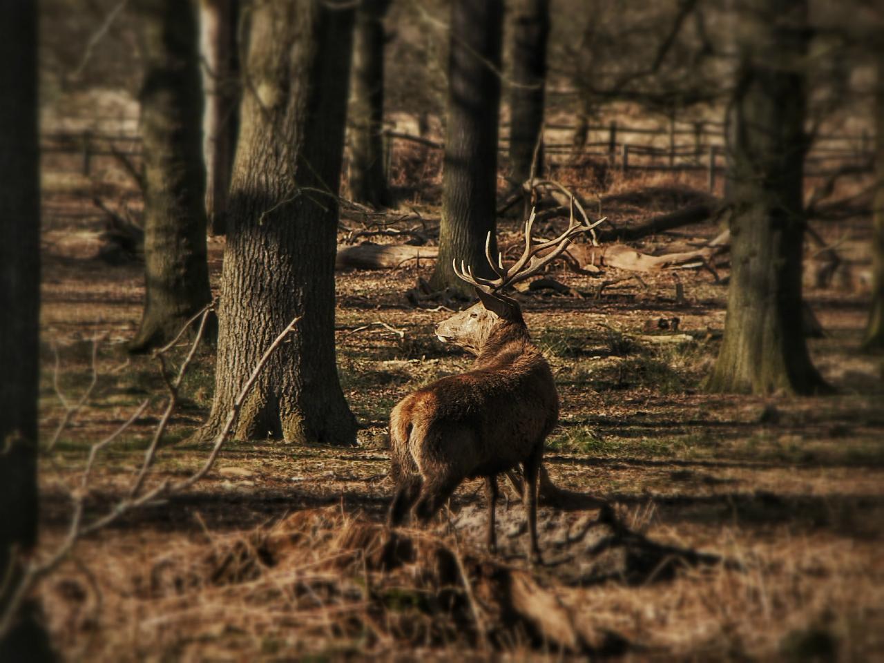 Red deer in Richmond Park (15 March 2014)