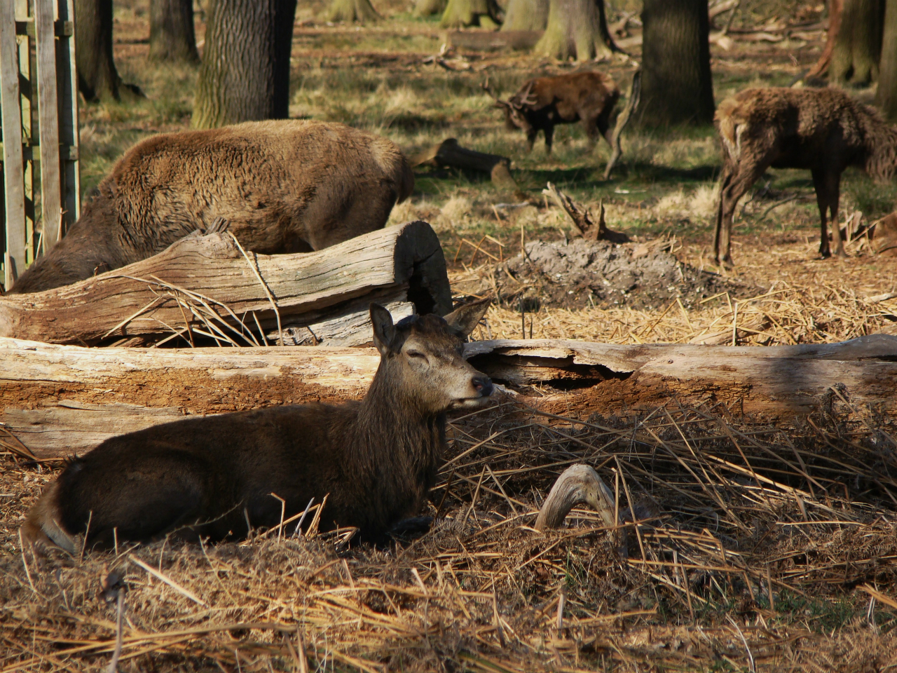 Red deer in Richmond Park (15 March 2014)
