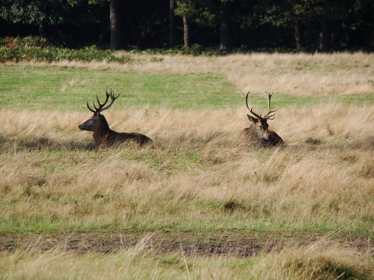 Red deer stags in Richmond Park (5 October 2014)