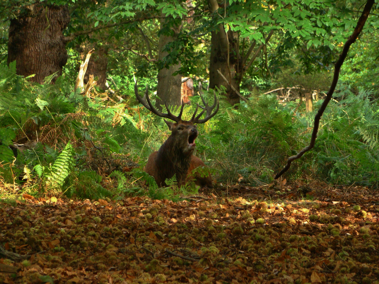 A red deer stag roaring in Richmond Park (5 October 2014)