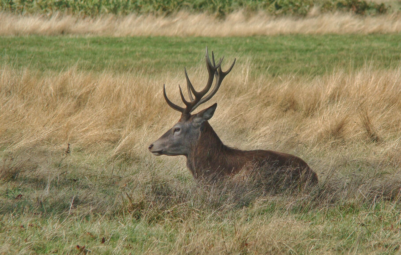 Red deer stag in Richmond Park (5 October 2014)
