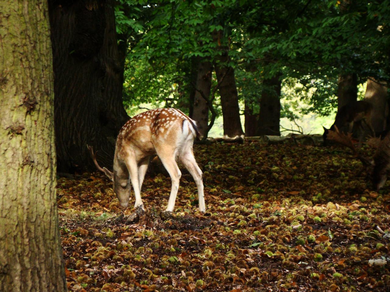 A fallow deer buck in Richmond Park (5 October 2014)