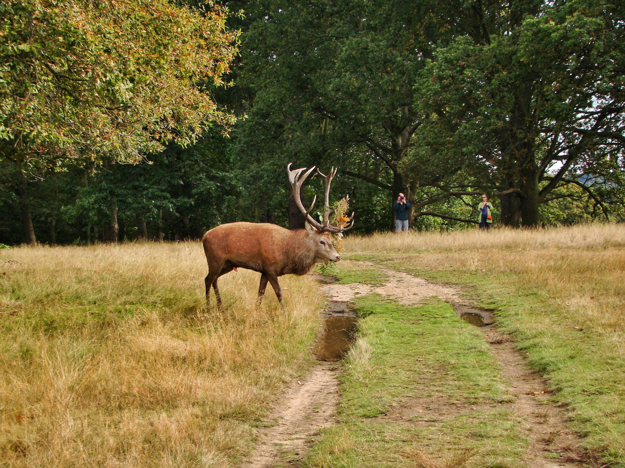 A red deer stag in Richmond Park (5 October 2014)