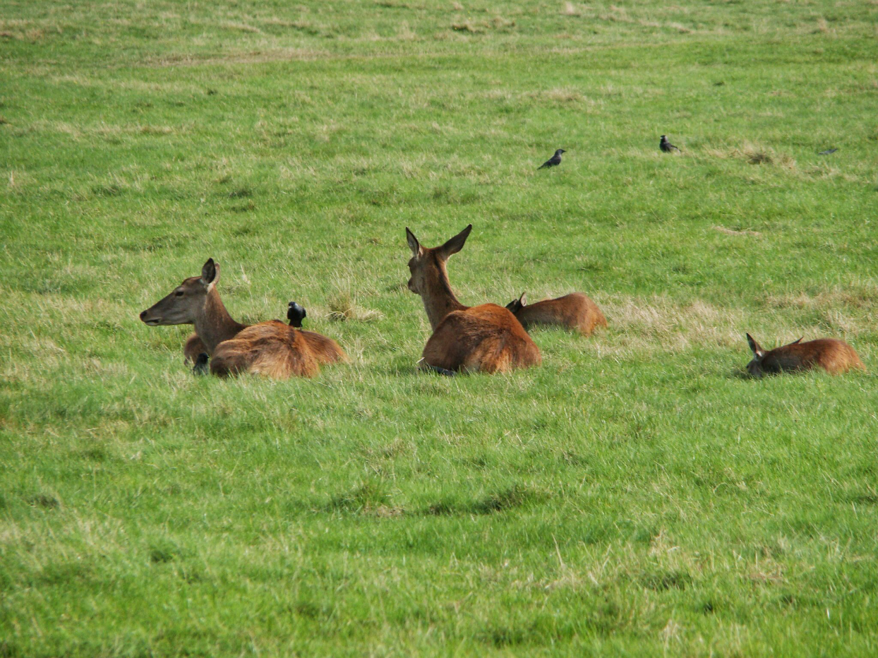 Red deer hinds in Richmond Park (5 October 2014)