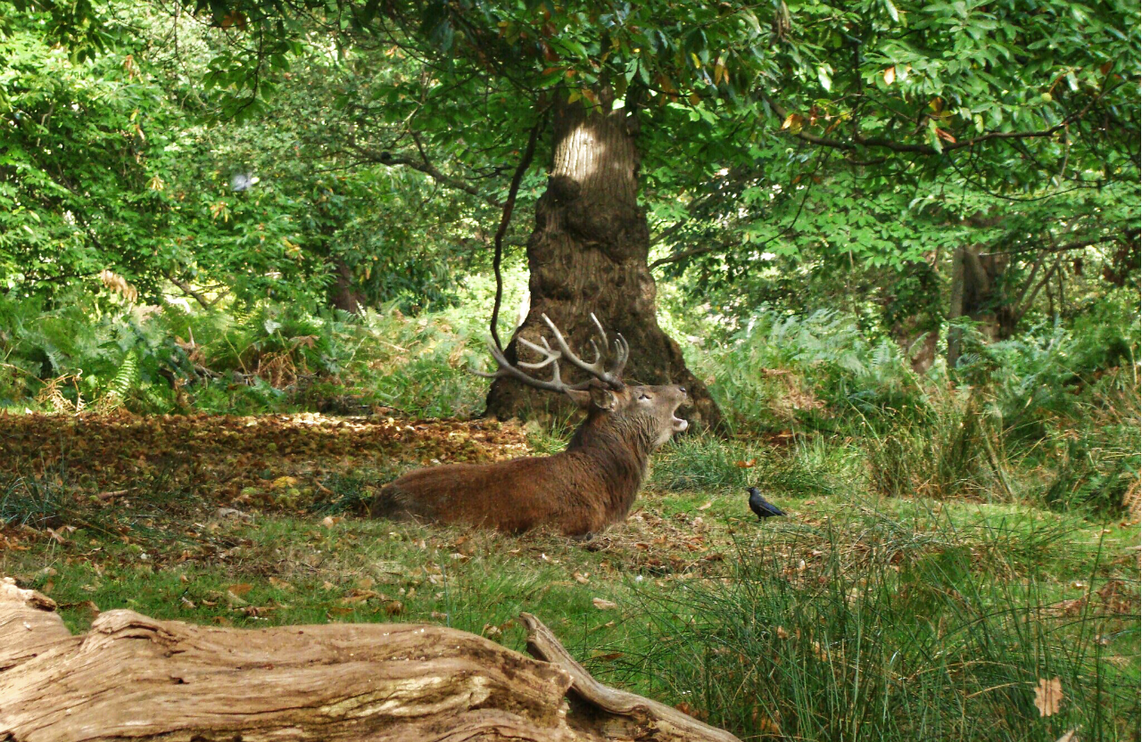 A roaring red deer stag in Richmond Park (5 October 2014)