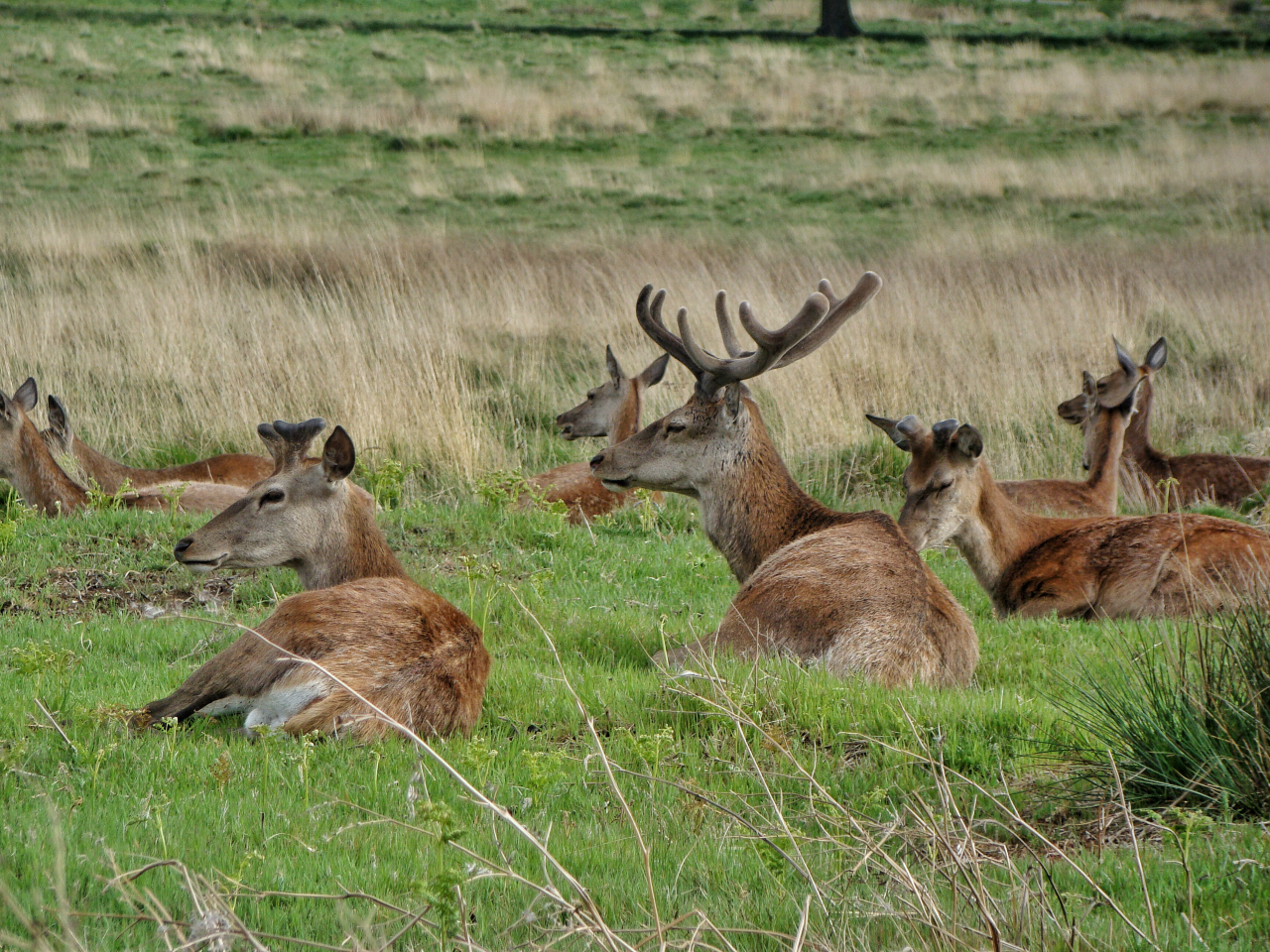 Red deer in Richmond Park (17 May 2015 — 11)