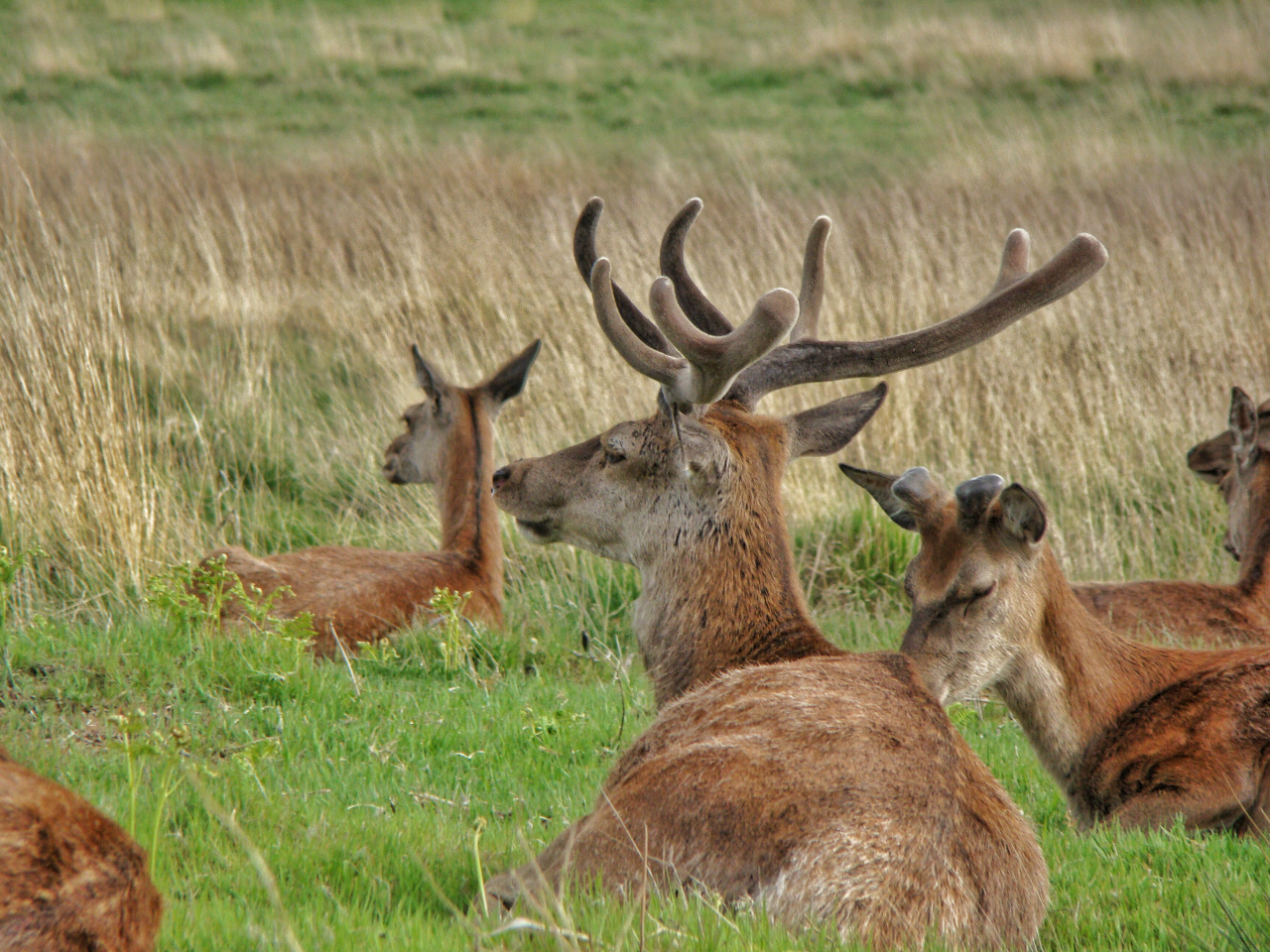 Red deer in Richmond Park (17 May 2015—12)