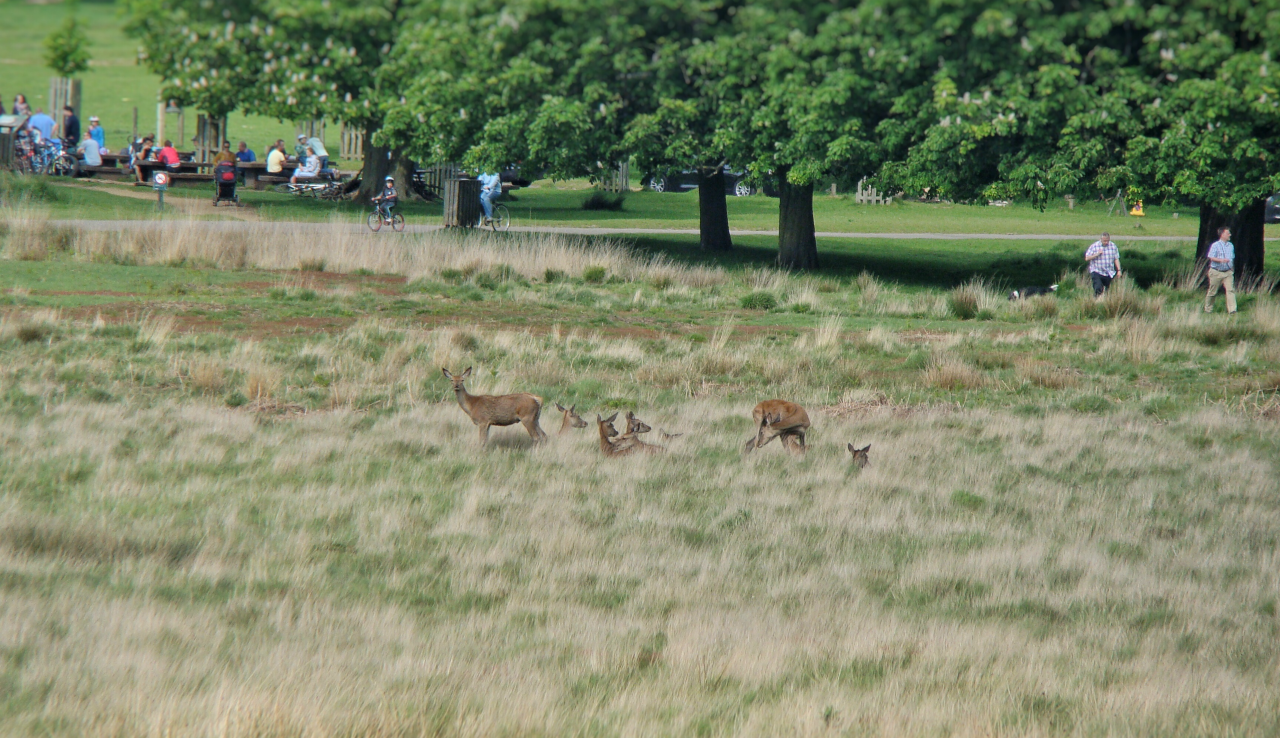 Red deer in Richmond Park (17 May 2015 — 3)