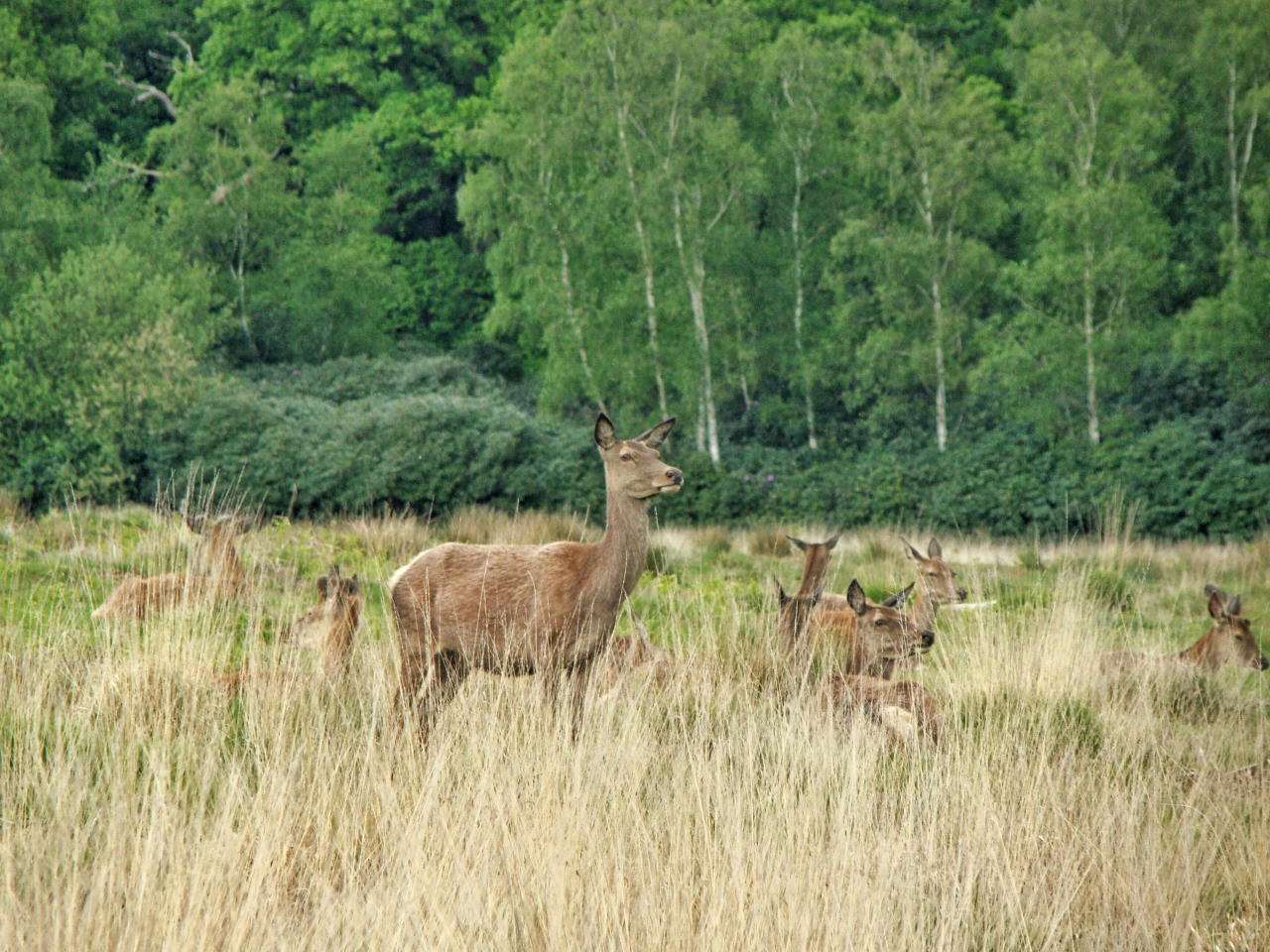 Red deer in Richmond Park (17 May 2015—4)