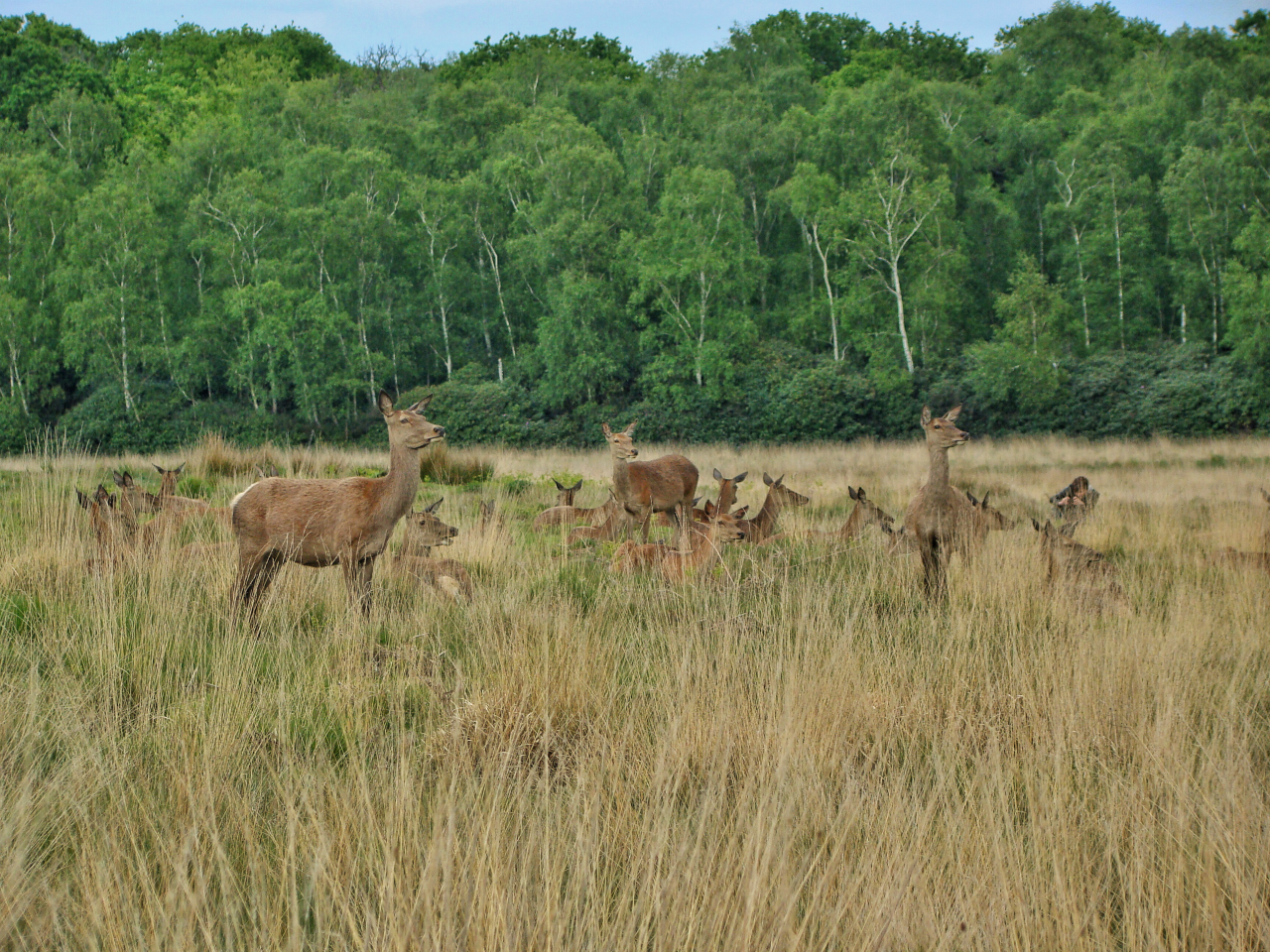 Red deer in Richmond Park (17 May 2015—5)