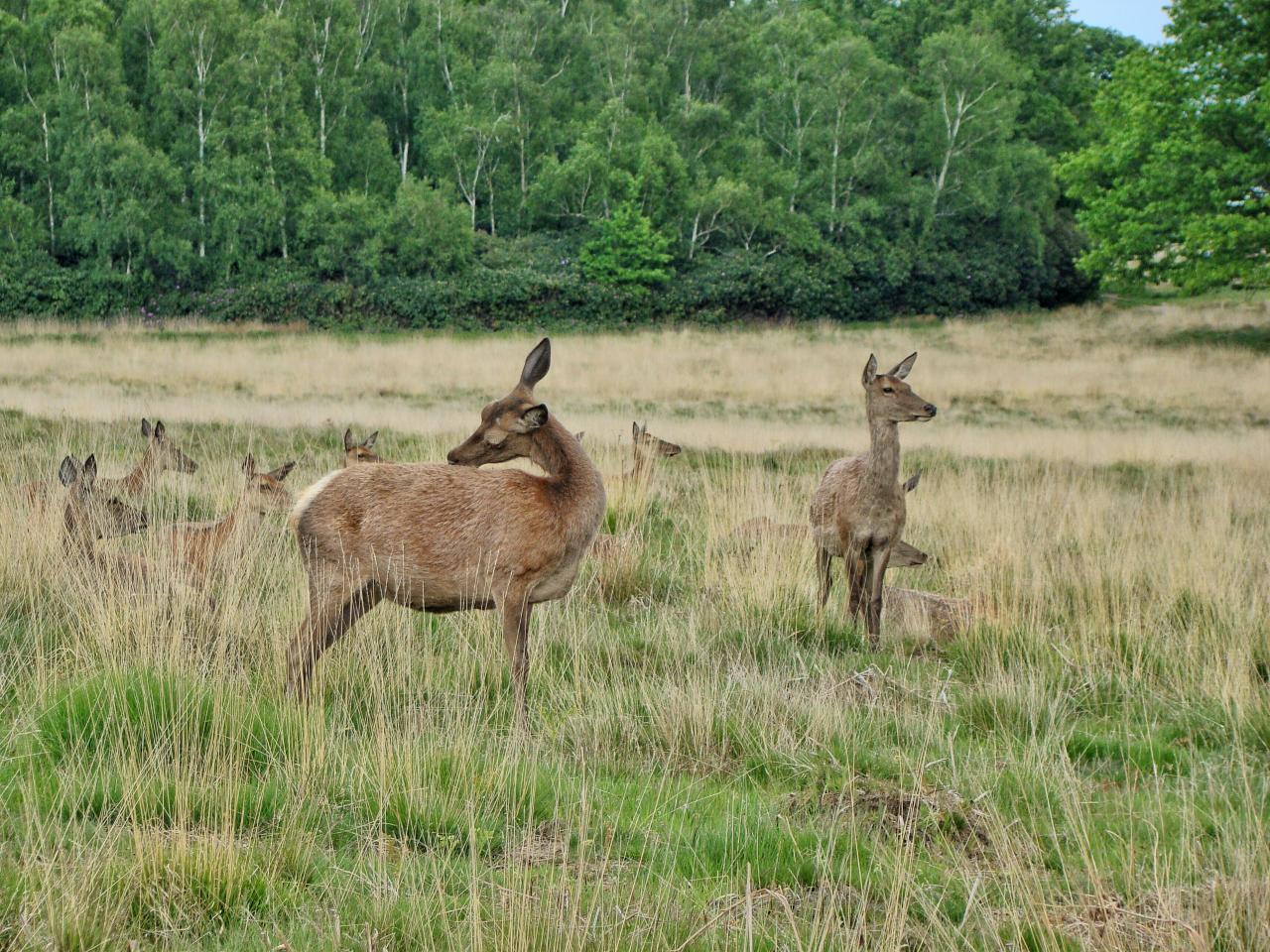 リッチモンド・パーク:鹿(2015年5月17日|6)