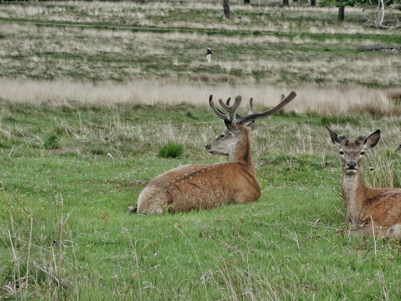 Red deer in Richmond Park (17 May 2015 — 7)