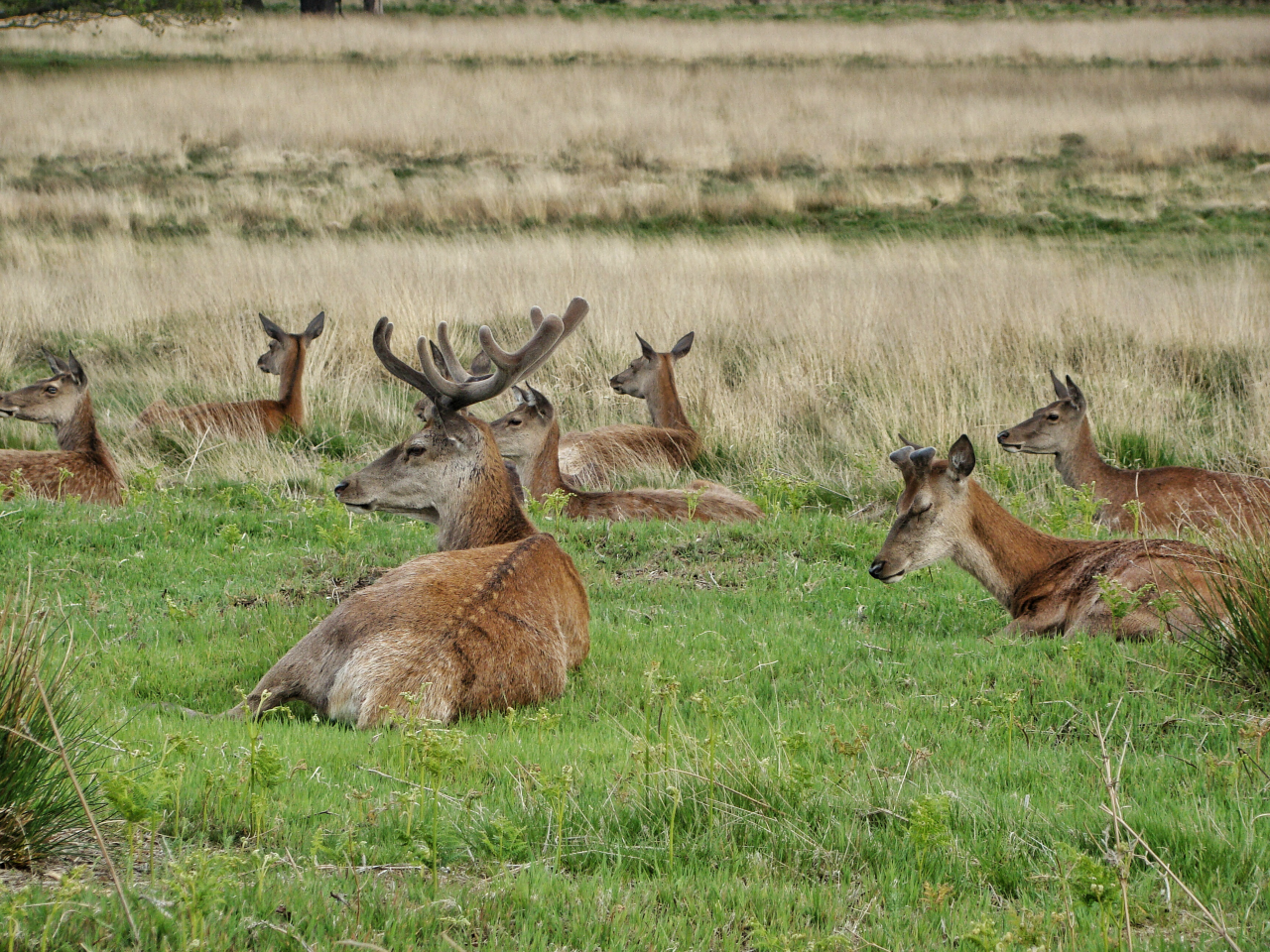 Red deer in Richmond Park (17 May 2015 — 9)