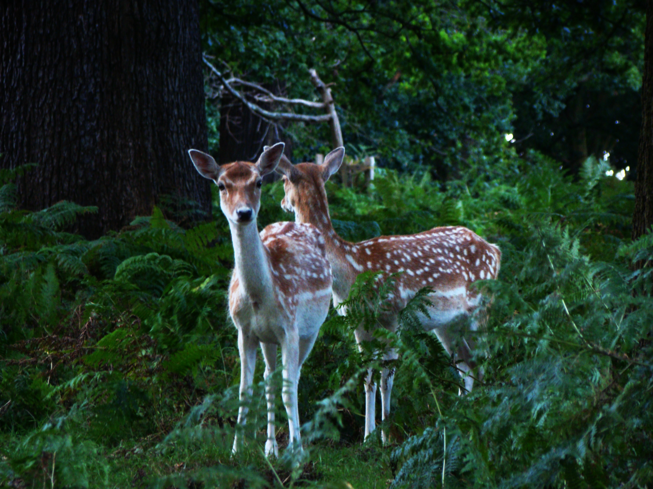 Fallow deer in Richmond Park (12 September 2015 — 1)