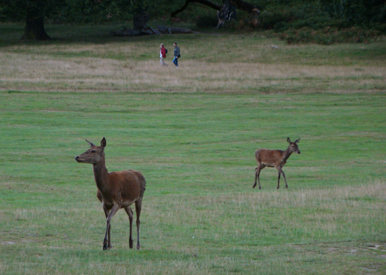A photograph of two red deer hinds in Richmond Park, London, 12 September 2015
