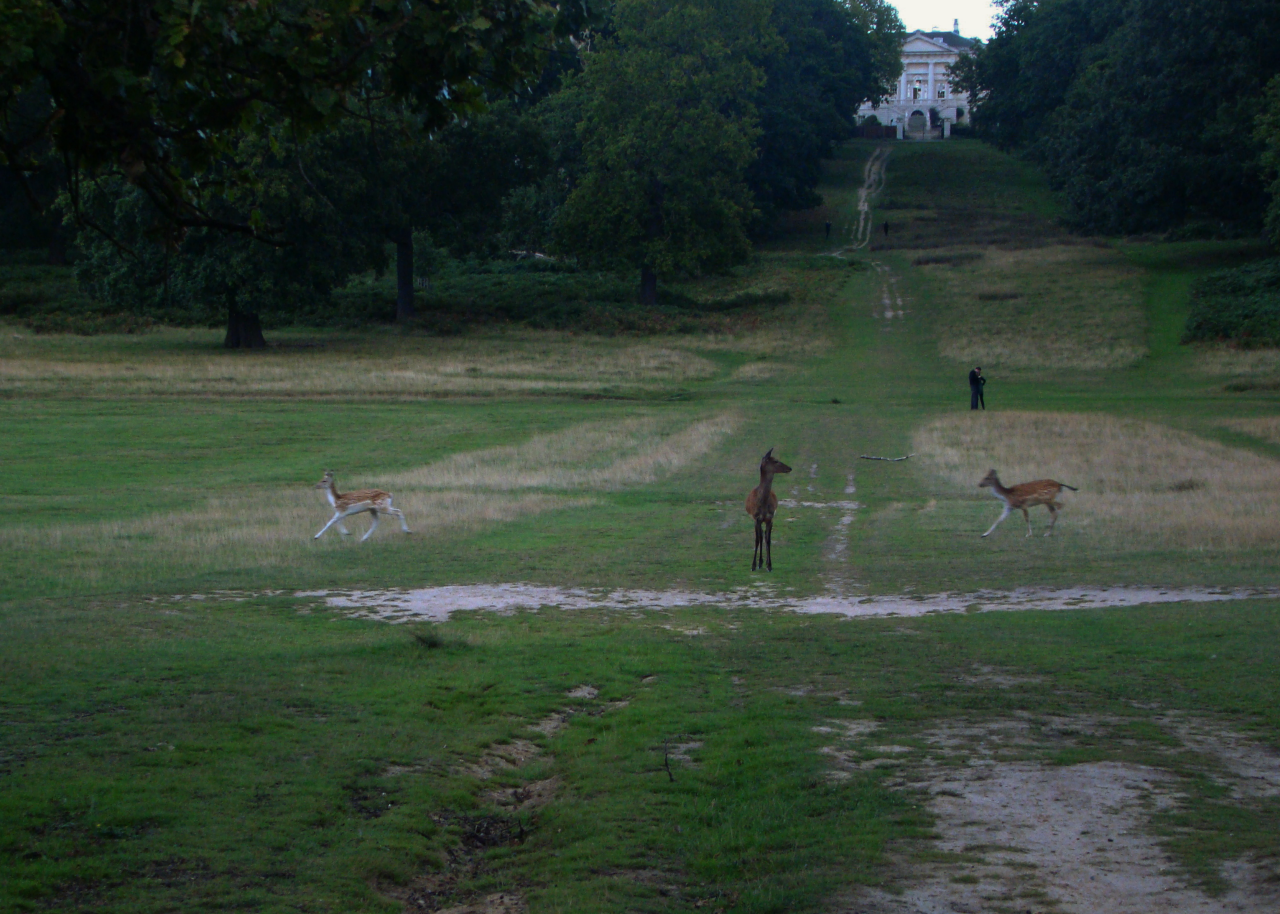 A photograph of a red deer hind and fallow deer in the background in Richmond Park, London, 12 September 2015