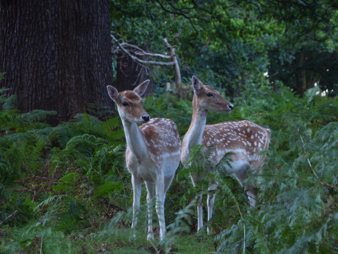 Fallow deer in Richmond Park (12 September 2015—2)