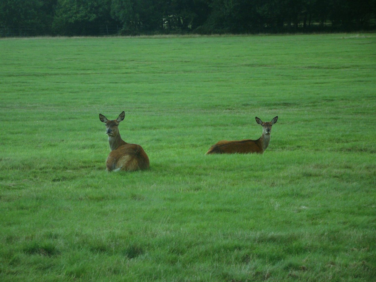 Red deer in Richmond Park (12 September 2015 — 4)