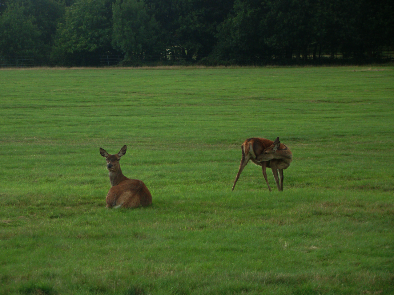 A photograph of two red deer in Richmond Park, London