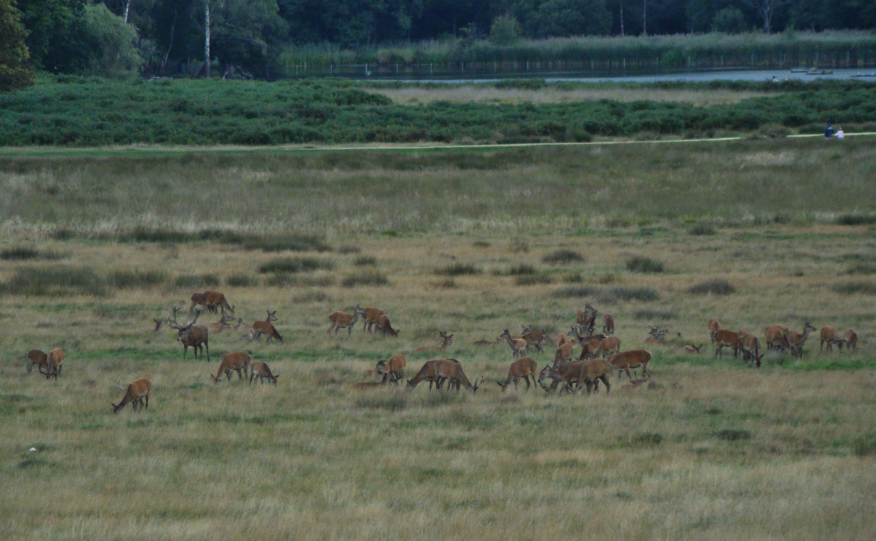 A photograph of red deer in Richmond Park, London
