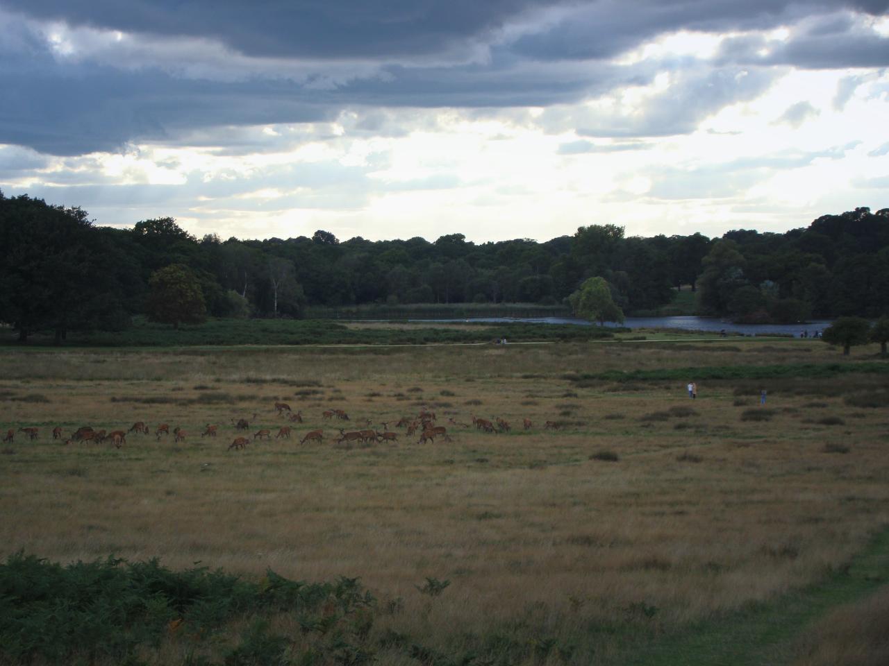 リッチモンド・パークにて撮影したアカシカの群れ|2015年9月12日