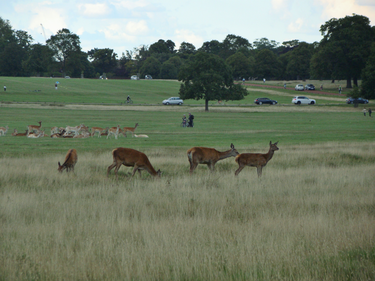 A photograph of red and fallow deer in Richmond Park, London