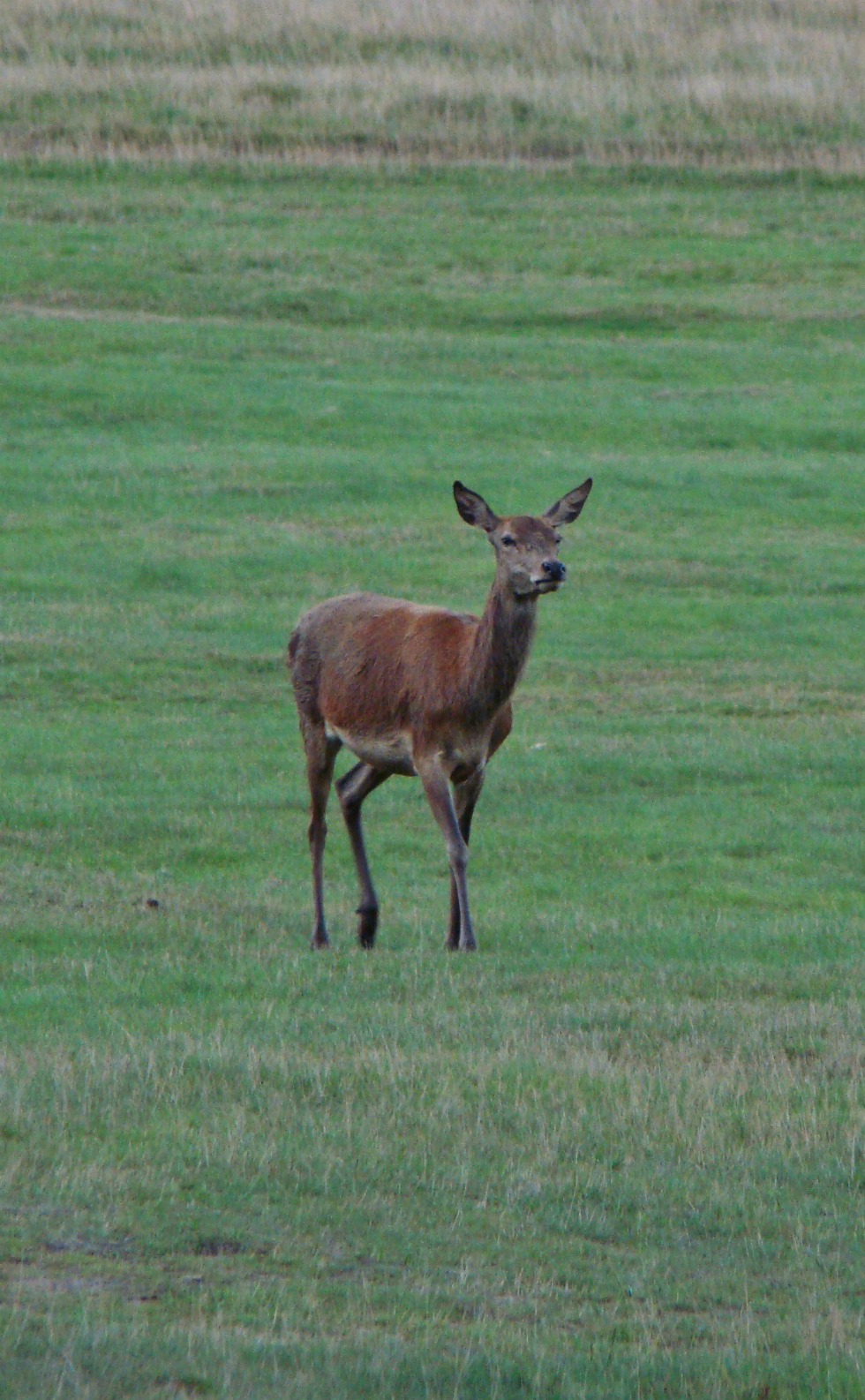A photograph of a red deer hind in Richmond Park, London